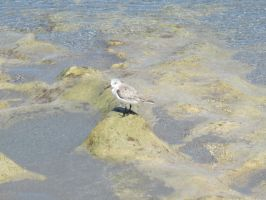 Plover at Low Tide by NutBunnies