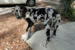 Barney the Great Dane Puppy by Hooterville