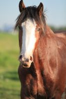 Clydesdale s 17 by okbrightstar-stock