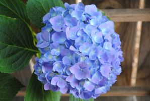 Blue and Purple Hydrangea by Blicrowave-Bloven