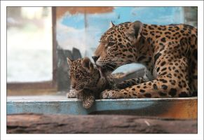 Jaguars: Protection II by AF--Photography