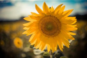 Sunflower VI by RaMaKrAmA