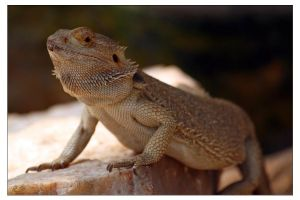 Bearded Dragon by Amnet