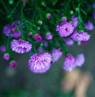 Aster II by LuciaConstantin