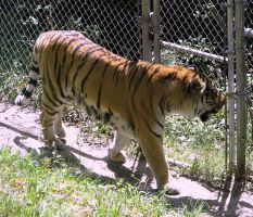 Amur Tiger Stock 10 by HOTNStock