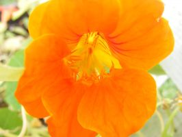 another pretty orange flower by BlueIvyViolet