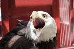 Eagle Vore... by TornFeathers