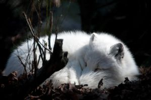 Arctic Fox Sleeping by happeningstock