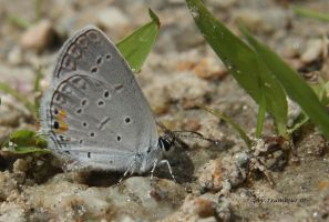 Eastern Tailed-blue butterfly by natureguy