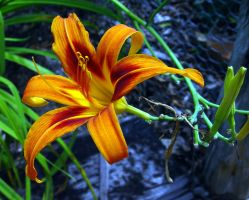 Day Lily Macro by fastruck