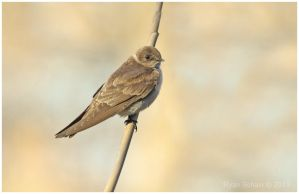 Northern Rough-winged Swallow by Ryser915