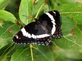 white Admiral butterfly by Nipntuck3