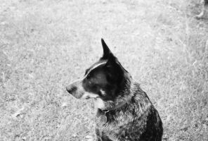 Blue Heeler- B and W by Chris01125