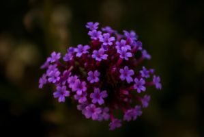 Purple 1 by xtcvv2