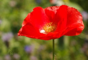 Red Poppy II by JoannaMoory