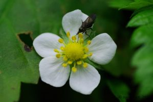 Fly on a flower by friedapi
