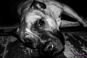 American Staffordshire Terrier by pszczolabzzz