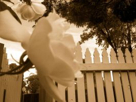 Rose sepia with Picket fence by Missy-Babby