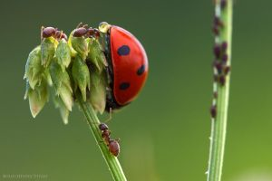Adoration of high aphid by Viand