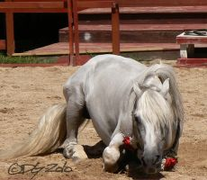 Andalusian Stallion - 31 by ElaineSeleneStock