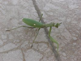 Praying Mantis Stock by bubblewrap-pancakes