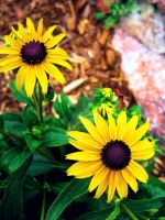 Black Eyed Susan Duet by Sing-Down-The-Moon