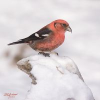 White winged crossbill by DGAnder