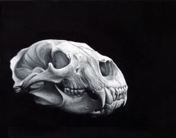 Bear Skull Study by benke33
