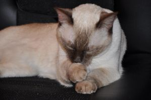 Robriel-Stock Siamese Cat 11 by Robriel-Stock