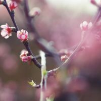 Pink blossoms by ruuca
