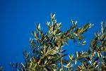 Olive leafs by mario-metzler