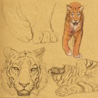 Tiger Studies by akeli