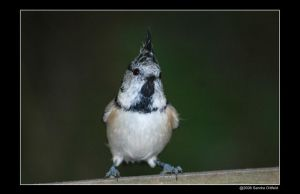 Crested tit 4 by grugster