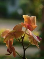 Coral-Coloured Orchid 04 by botanystock