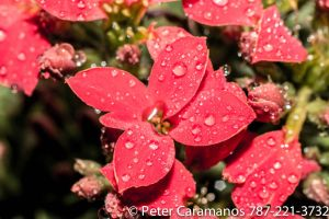 Wet red flowers by Caramanos2000