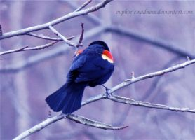Back of Red-winged Blackbird by euphoricmadness