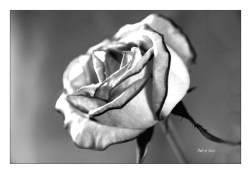 Rose 26 in mono by Deb-e-ann