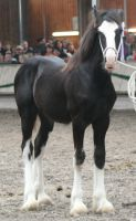 Shire Horse Show 8 by DarkestFear