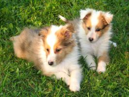 Sheltie Pups by ReinbowSparkles
