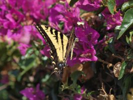 Western Tiger Swallowtail 14 by photographyflower