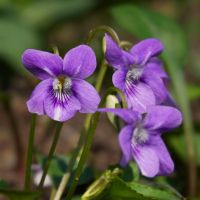 Violets by starykocur