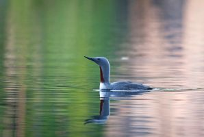 Red-throated Loon by komedian