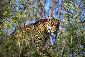 Jaguar by Vanell-Photography
