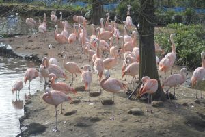 Flamingos by Clangston