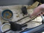 Feeding Young Grackles 4 by Windthin