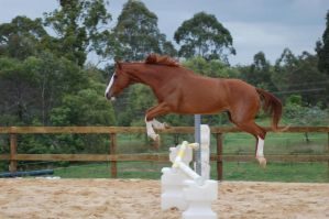 ASH showjump side on all legs by Chunga-Stock
