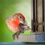 House Finch by DeniseSoden