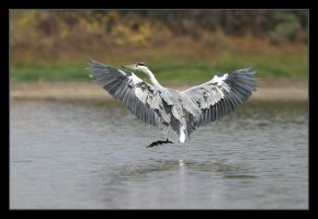Grey Heron III by invisiblewl