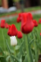 White Tulip Among Red by thebreat