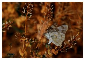 White Cabbage Butterfly Utah by houstonryan
